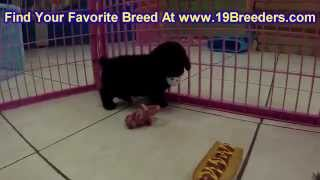 Toy Poodle, Puppies,for,sale, In,orlando Florida, Fl, Deltona,melbourne,palm Coast,