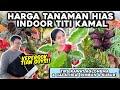 Buka2an Harga Tanaman Hias Titi Kamal Tips Rawat Aglonema Calathea Giveaway Suksom Jaipong