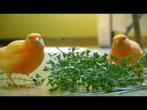 Canary Green Food