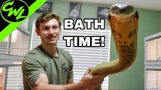 BATHING KING COBRA & RATTLESNAKE!!!