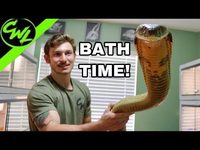 BATHING KING COBRA & RATTLESNAKE!!!