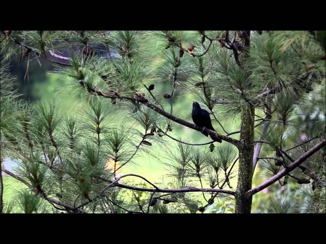 Singapore Noisy Koel Bird