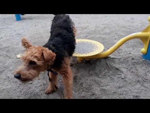 Vegy Welsh Terrier new workout