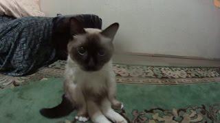Необычный сиамский кот