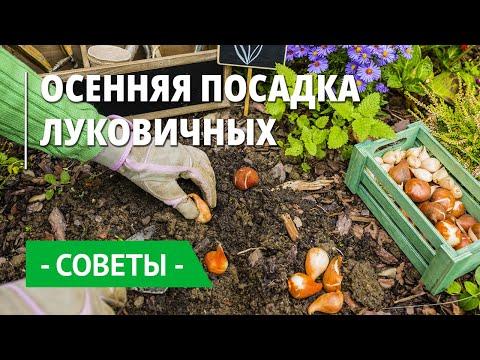 Вопрос: Нужно ли поливать крокусы при посадке осенью Почему?