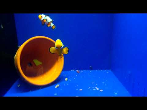 Half Onyx X Black Ice Snowflake Spawning Clownfish Pair For Sale!