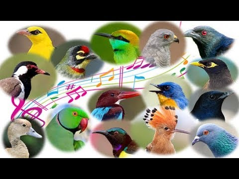 Beautiful bird songs - Calls of 50 indian birds with video