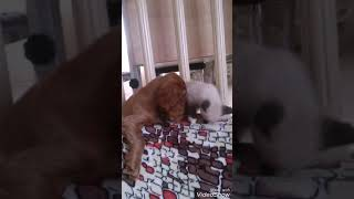 Английский кокер спаниель и сиамский котёнок