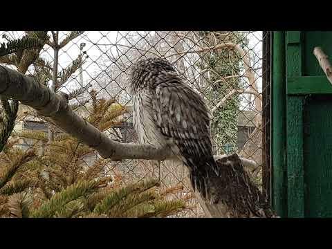 Eating Ural owl