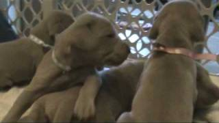Weimaraner Puppies Walking And Exploring Just After Eyes Have Opened.