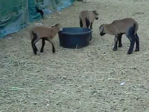 Livestock :: Bush Creek Farm