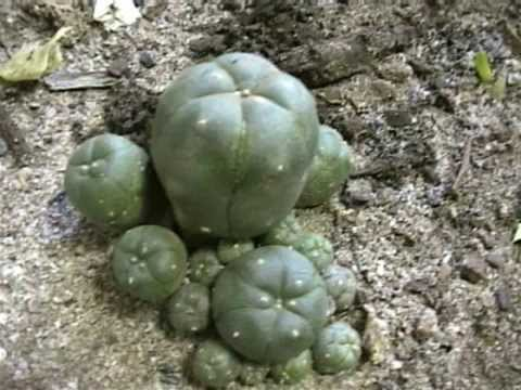 About a drug: Mescaline | NZ Drug Foundation - At the ... |Peyote Cactus