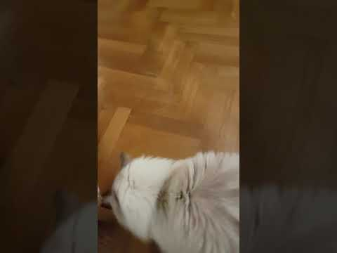 White Siberian cat whining for attention