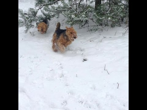 Welsh Terriers in snow XII-2017.
