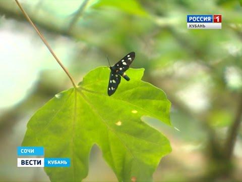 Бабочка-огневка выбрала Сочи постоянным местом жительства