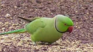 Green Parrot on Sunday