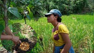 Gadis Dayak Desa    Mencari Ulat Sagu Di    Alam Bebas Kalimantan