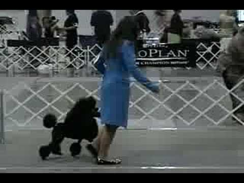 Best Junior Handler - Columbia Poodle Club Specialty Show