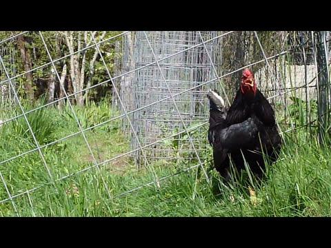 Dark Cornish Rooster.MOV