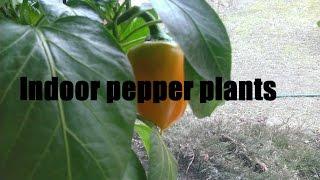 My indoor pepper plants