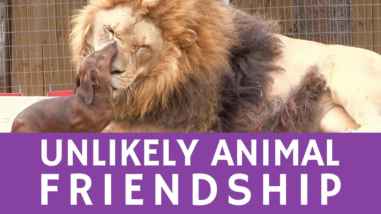unlikely animal couple: a tiny dachshund & a 500lb lion - youtube
