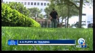 K-9 Puppy In Training