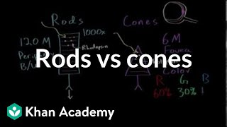 Photoreceptors (rods vs cones) | Processing the Environment | MCAT | Khan Academy