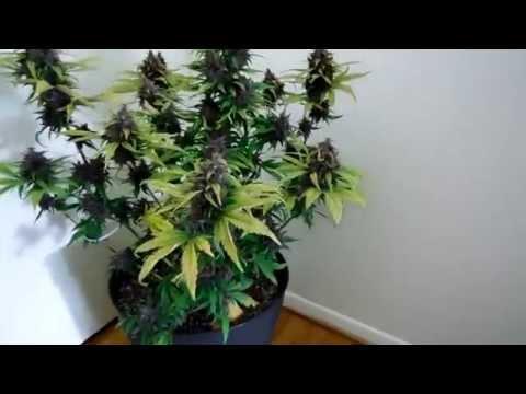 Purple Kush Autoflower Harvest