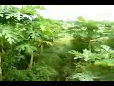 Papaya How to grow a Fruit