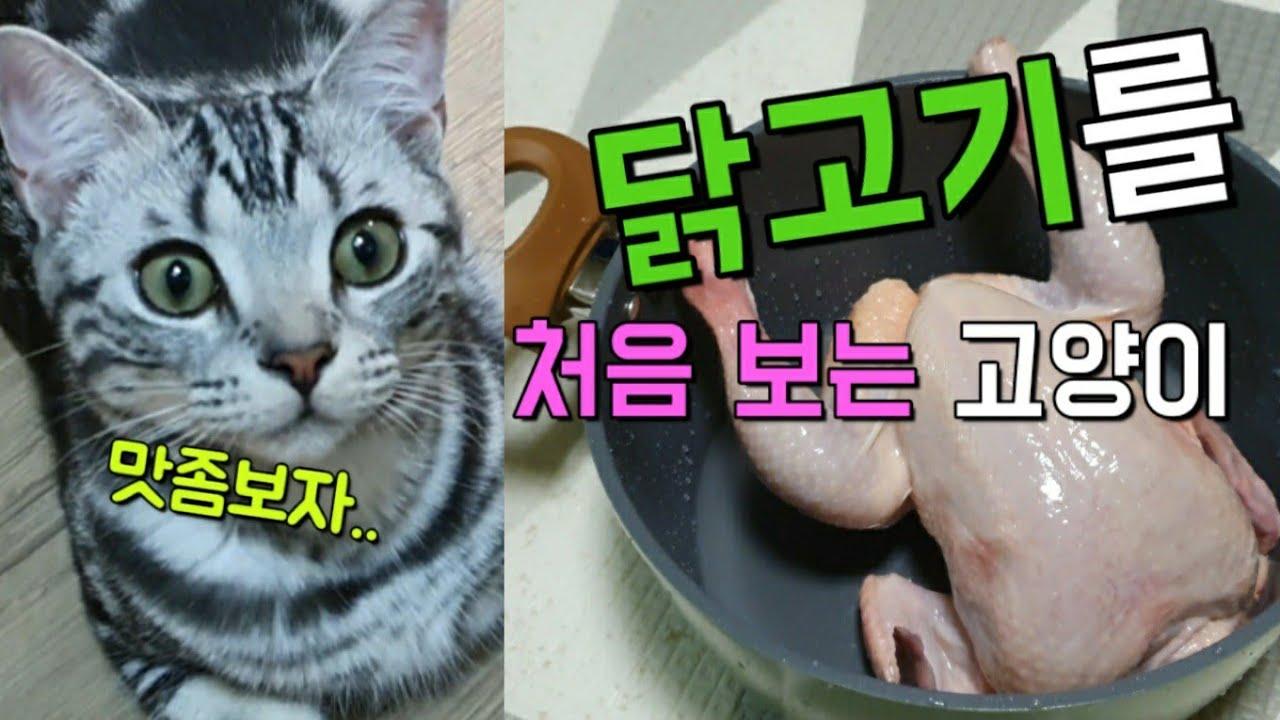 [러시안블루와 아메리칸숏헤어] 고양이는 정말 닭고기를 좋아할까??