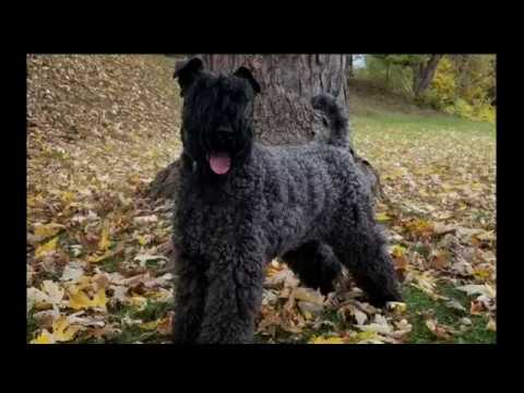 Greenwich Dog Trainers / Westchester Dog Trainers / 3 Year Old Kerry Blue Terrier, Franny