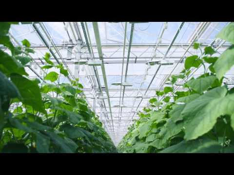 Modern farming, eco-complex, greenhouse farming with cucumbers