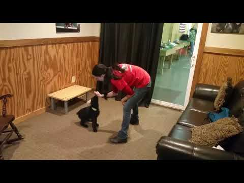 """Giant Schnauzer Puppy """"Qweri"""" 9 Wks Early Obedience Training BAB Candidate For Sale"""