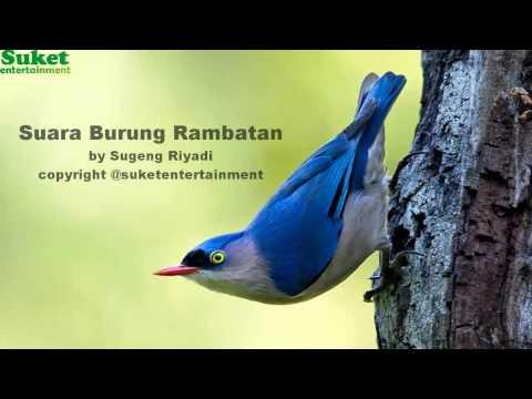 Suara Burung Rambatan