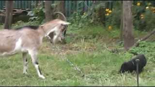 Черные щенки лабрадора. Помет К