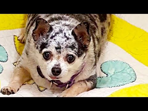 Lu-Seal the Chihuahua's Inspiring Weight Loss Story