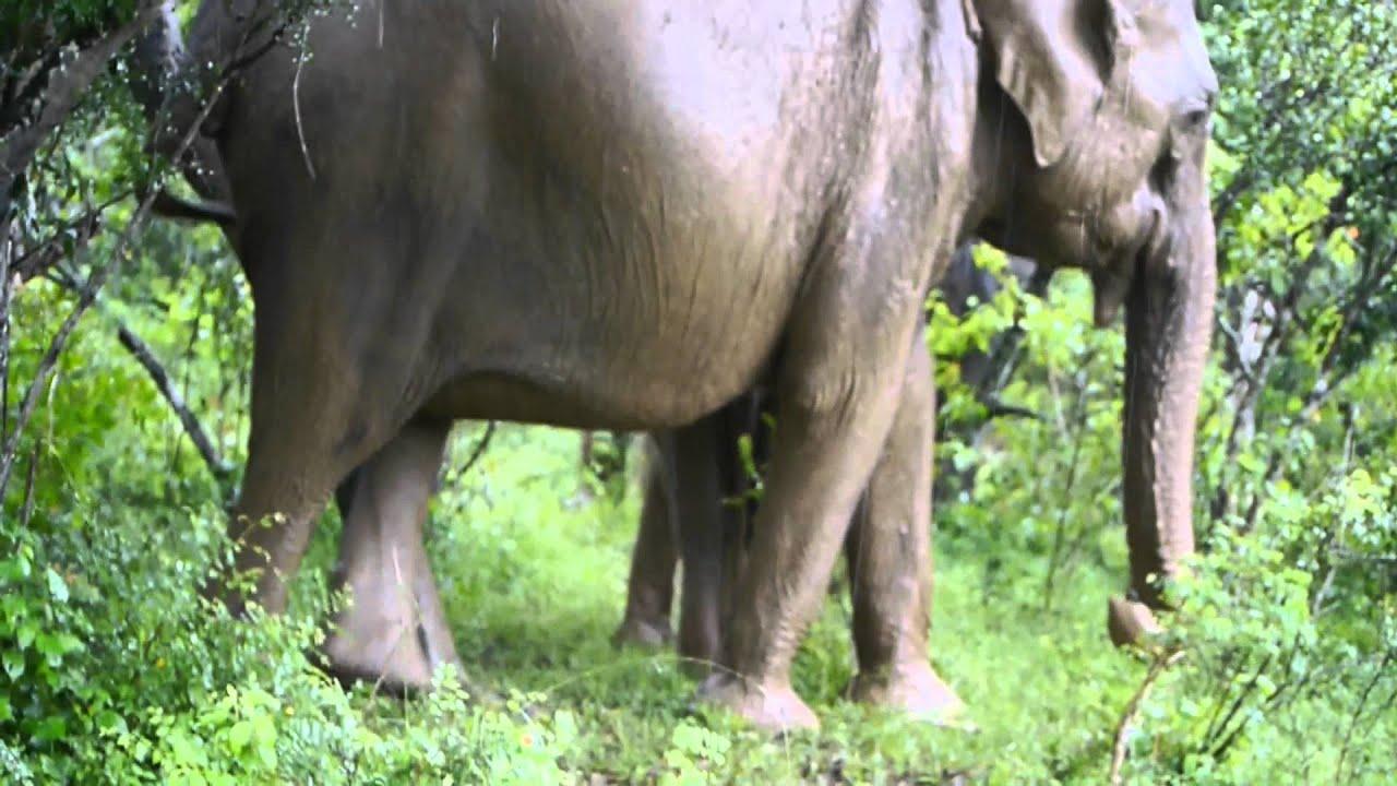 Ass Scratching Elephant Youtube