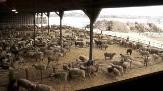 Ontario Lamb Farming
