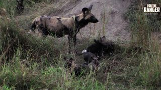 Painted Wolf/Wild Dog Den Site | Archive Footage