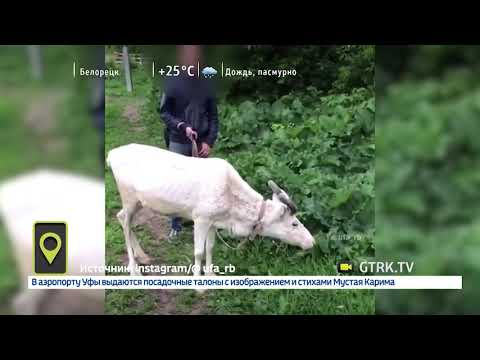 «Выглядят плохо, голодают»: в центре Уфы пасутся истощенные олени
