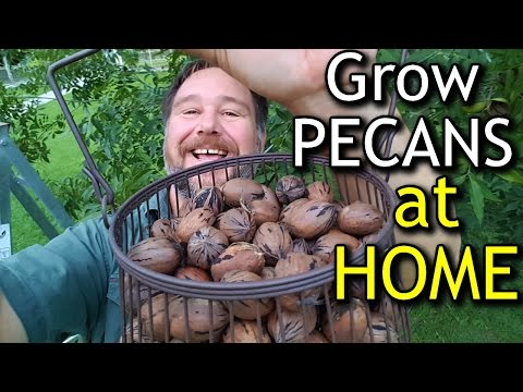 How to Grow Pecans at Home For Your Own Nut Tree Fruit 4k