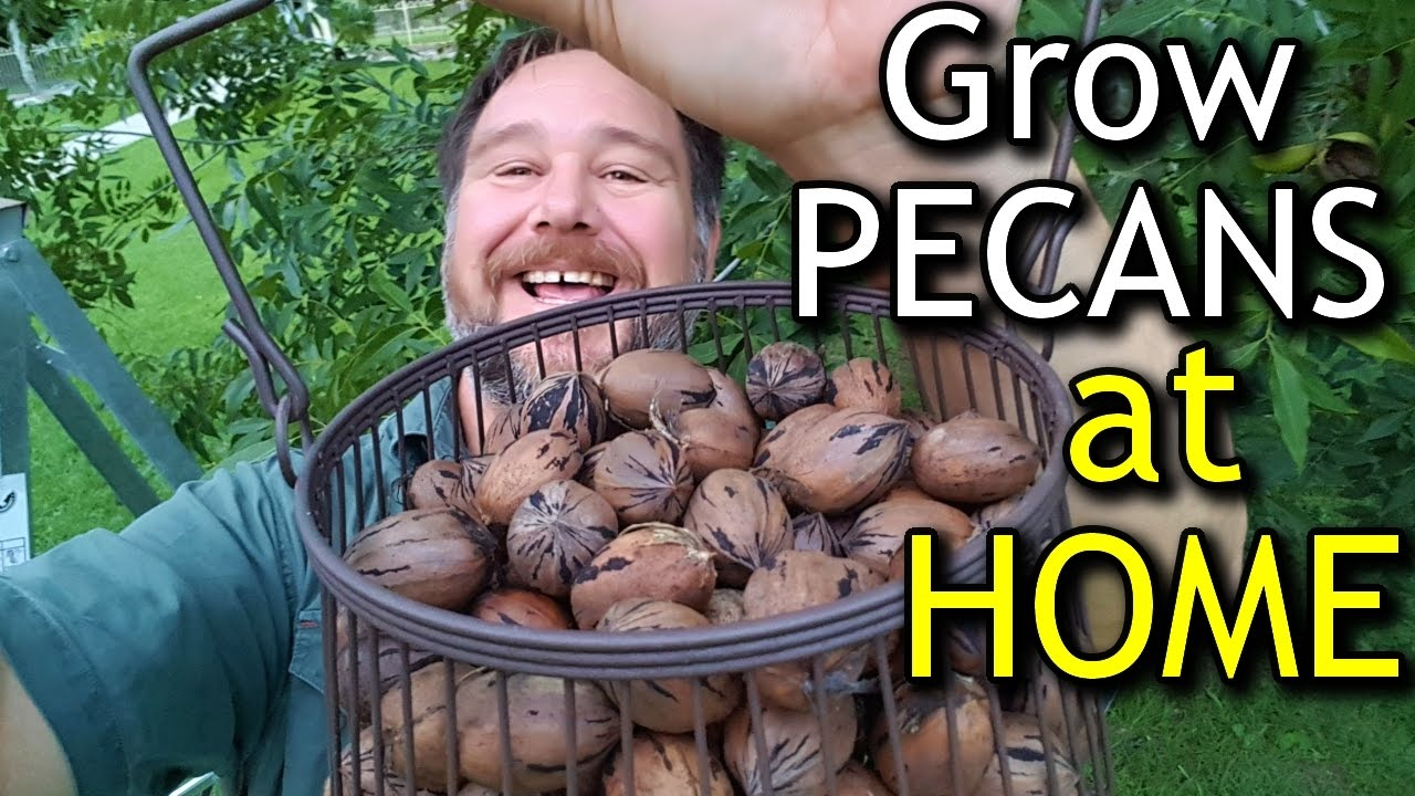 How to grow a nut from a nut
