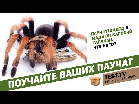 TEST.TV: Как содержать дома паука-птицееда и мадагаскарских шипучих тараканов.