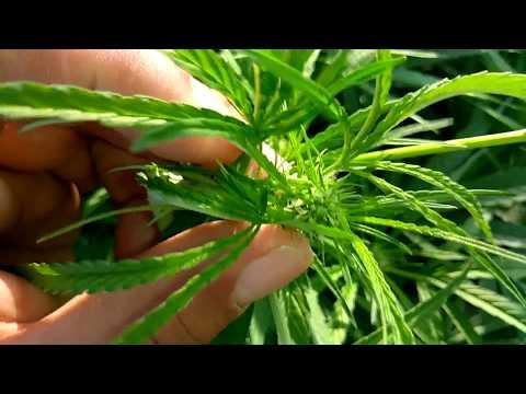 OUTDOOR GROW 2017 marijauna grow 4th week of bloom part 3