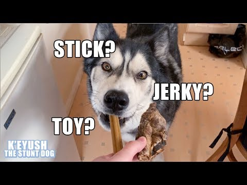 Husky REFUSES FOOD In Favour Of A TOY??