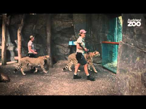 Thumbnail: Zoo Tales - Chalk and cheese cheetah