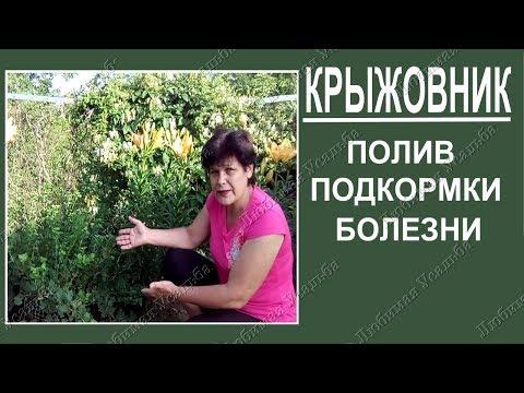 Крыжовник – болезни и вредители, фото: мучнистая роса на