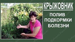 Уход за крыжовником  Правила полива крыжовника  Подкормки, болезни