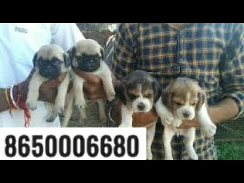 Pet Care Small Dog For Sale Pug And Beagle Puppies For Sale In