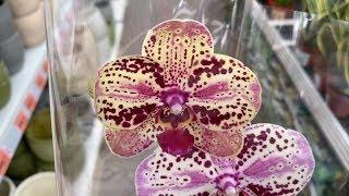 орхидеи сортовые по 549 руб // обзор орхидей в ОБИ 10/2019